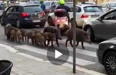 """Un branco di cinghiali a """"spasso"""" in mezzo al traffico di Roma"""