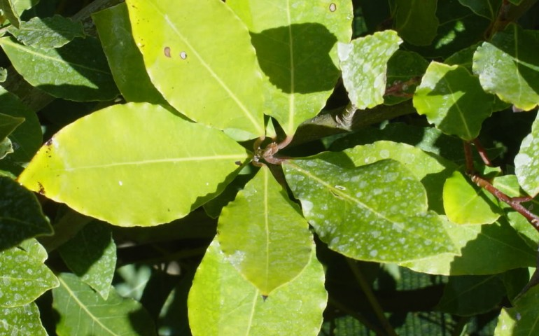 Salute e Bellezza. L'alloro, pianta tipica della Sardegna, ricca di proprietà antisettiche e antitumorali