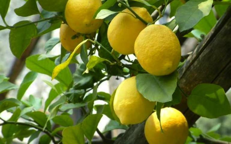 Salute e Bellezza. Le numerose proprietà curative del limone