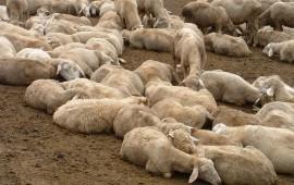 """""""Sa paradura"""", mille pecore donate dai pastori sardi ai colleghi terremotati: domenica la consegna in Umbria"""