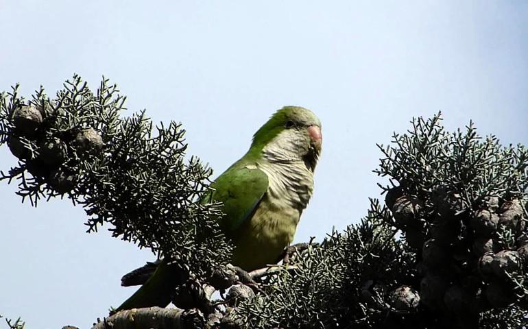 Lo sapevate? A Cagliari vive una nutrita colonia di pappagallini