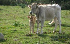 Riproduttori bovini