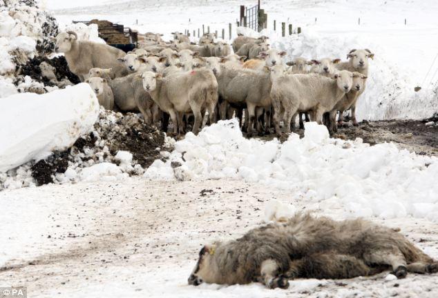 Arrivano i 45 milioni di euro per i pastori della Sardegna: respira il reparto dopo tante difficoltà