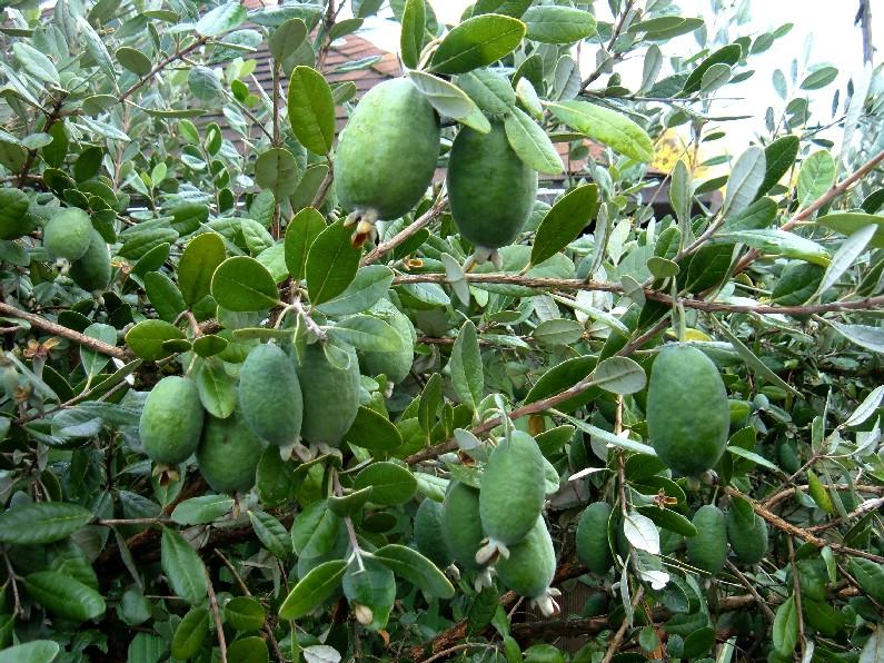 Salute e bellezza la feijoa il frutto del benessere for Pianta feijoa