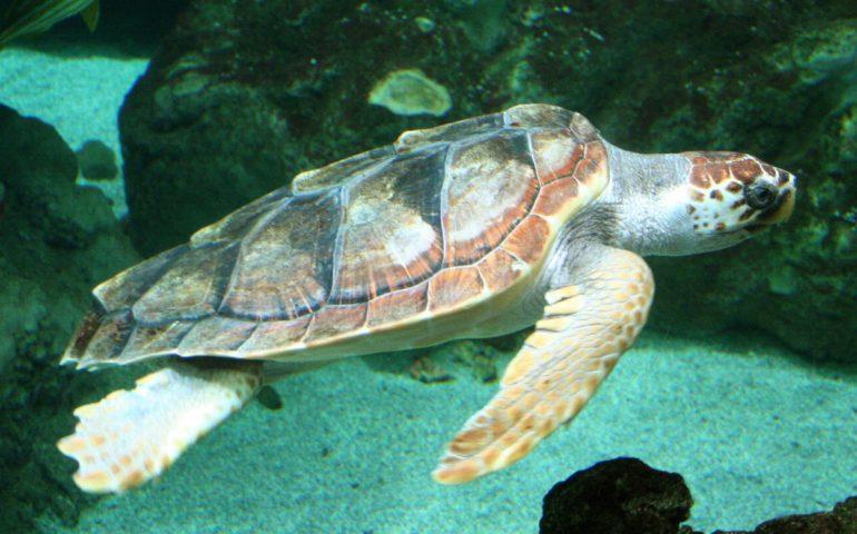 I pescatori di Marceddì salvano una tartaruga marina Caretta caretta