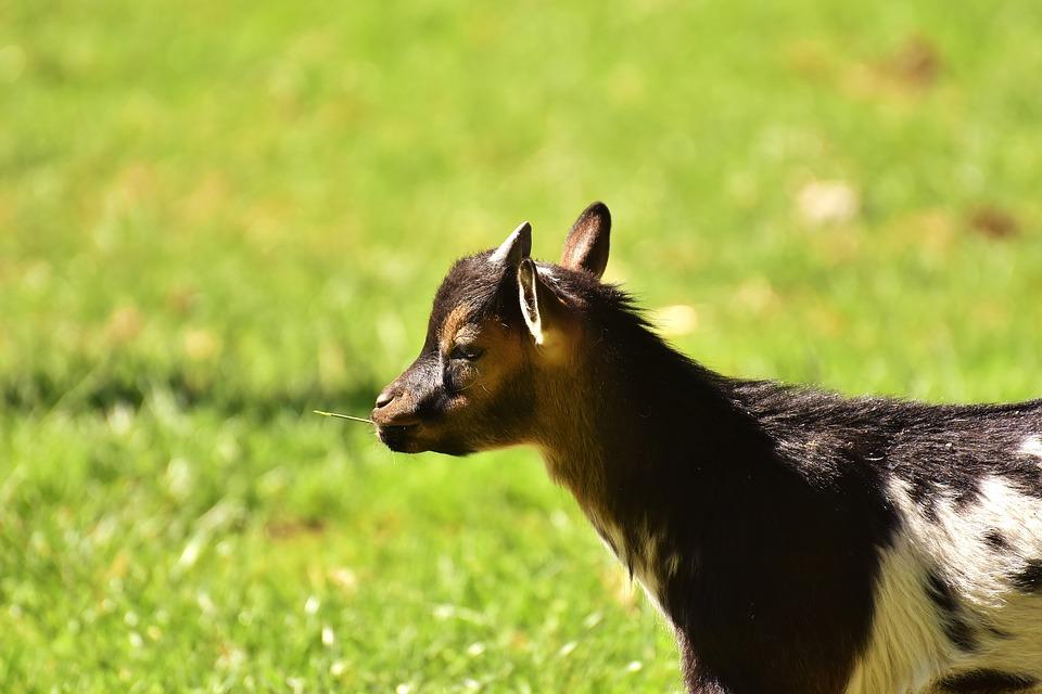 Yoga Goat