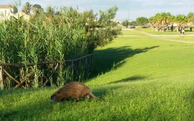 Nuova fauna nel parco di San Lussorio a Selargius: avvistata una nutria
