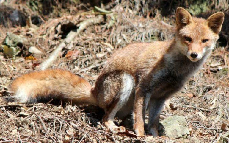 Cattura una volpe con una tagliola e la uccide barbaramente. Denunciato ignoto allevatore