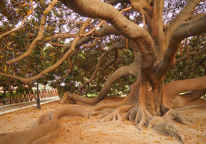 Lo straordinario ficus magnolioidedei Giardini pubblici. Il gigante buono della città