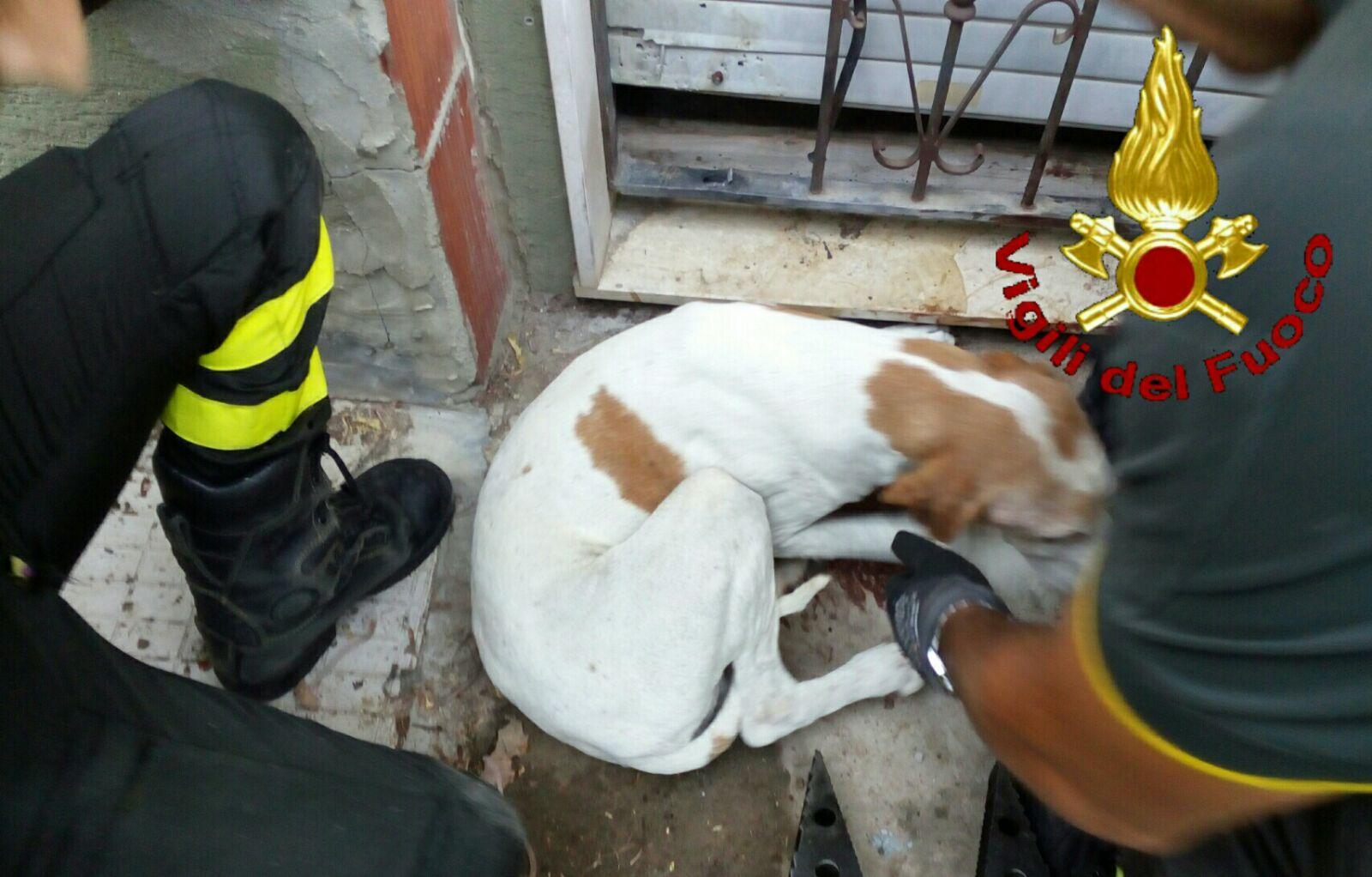 cane incastrato salvato vvff.jpeg2