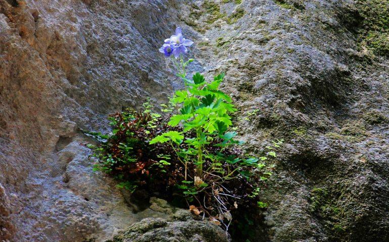 Lo sapevate? In Sardegna esiste una delle piante più rare del Mondo: l'Aquilegia Nuragica, ne rimangono solo dieci esemplari