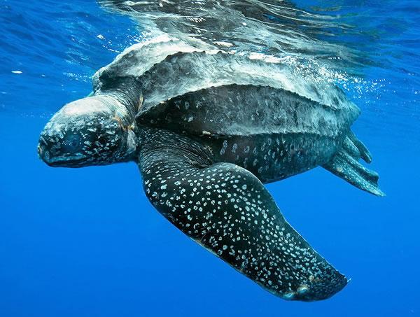 Eccezionalesalvataggio al largo dell'Isola Rossa, nelle acque di Teulada: ritrovatoun maschio adulto di tartaruga liuto gigantesco