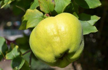La mela cotogna, frutto dimenticato dell'autunno. Buonissima la marmellata, ottimo per gastriti, glicemia e colesterolo