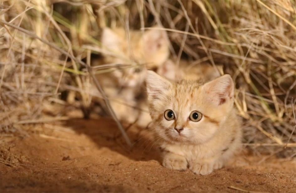 Marocco: ripresi per la prima volta i gatti delle sabbie