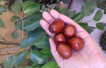 Su Zinzulu: la giuggiola, un frutto dimenticato, ma molto saporito e ricco di proprietà, ottima base per liquori, dolci e marmellate