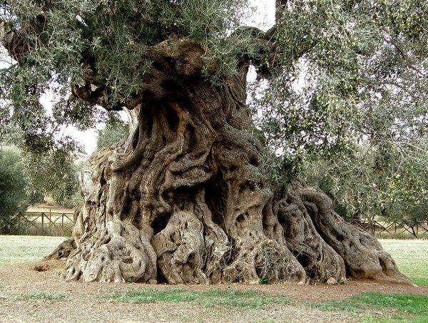 Lo sapevate? A Villamassargia c'è S'Ortu Mannu: 700 ulivi ultrasecolari piantati nel Medioevo