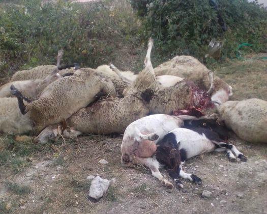 Uccide 135 pecore e 4 cani pastore