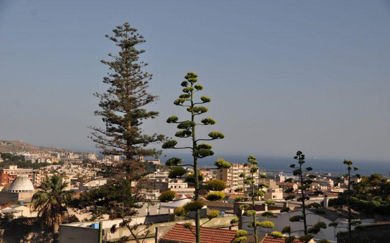 Lo sapevate? L'albero più alto di Cagliari è un'araucaria ultracentenaria. Scoprite dove si trova