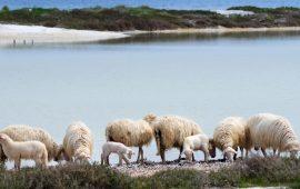 Un gregge di pecore soffre per la siccità in Sardegna - foto Coldiretti