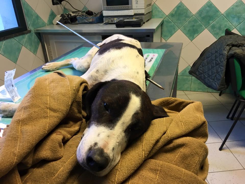 Orrore a Nuoro, cane trafitto da un arpione. I veterinari: