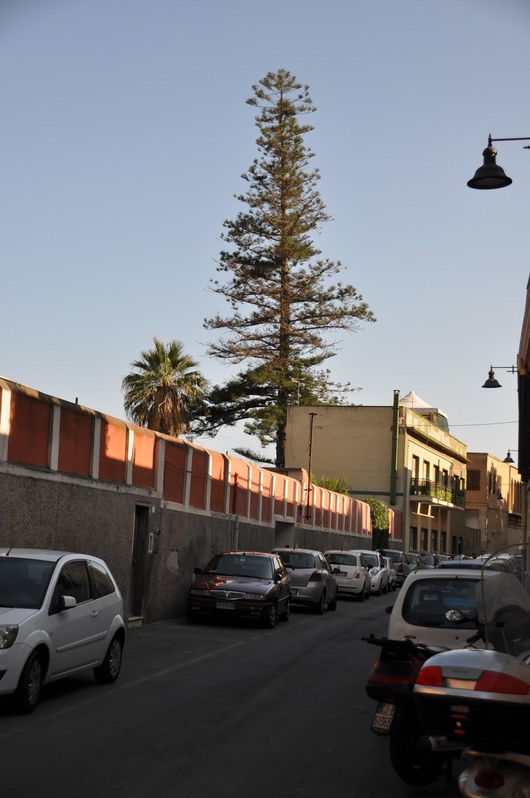 Lo sapevate l 39 albero pi alto di cagliari un 39 araucaria for Piani di casa di 4000 piedi quadrati