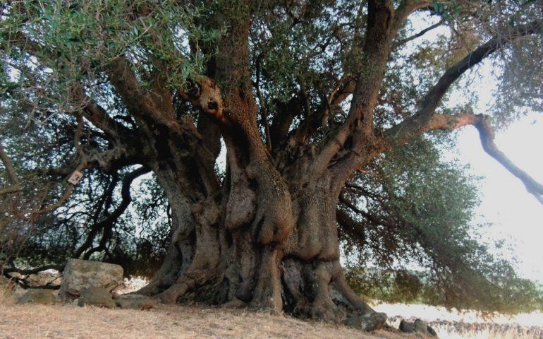 Lo sapevate? A Cuglieri vive un magnifico olivastro millenario che ha una circonferenza di oltre dieci metri