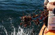 Pesca illegale. In due pescano oltre 1000 ricci nell'area marina protetta di Capo Caccia