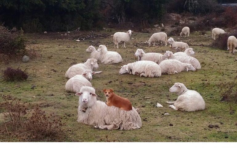 La Foto Dei Lettori Il Cane Pastore Che Sceglie Una Pecora Per