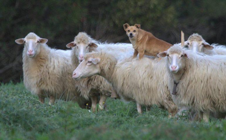 Il Primo Cane Pastore A Bordo Di Pecora Ecco A Voi Margherita La