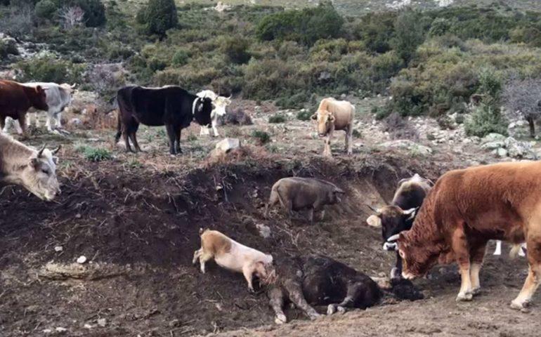 Maiali che mangiano carcasse di bovini: abbattuti per la peste suina tra Villagrande e Talana 111 suini allo stato brado irregolare