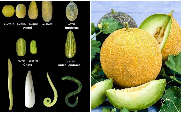 Lo sapevate? Il melone in Sardegna esisteva già in epoca nuragica: ma era uguale o no al melone che mangiamo noi?