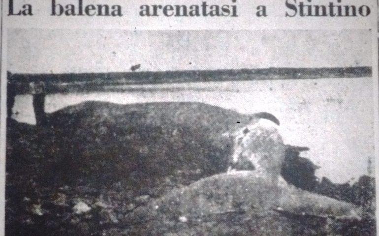 Lo sapevate? La balena spiaggiata a Platamona ha un precedente: a Stintino nel 1934 un altro enorme cetaceo si arenò a pochi chilometri di distanza