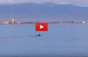 Video di un gruppo di delfini a Marina Piccola - Immagini di Antonello Siddi