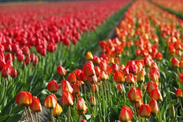 Risultati immagini per tulipani in sardegna