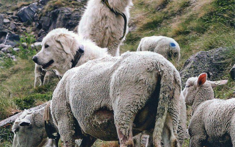 Tagliò le orecchie al cane, tenendolo a catena e senza acqua nè cibo: pastore sardo denunciato a Viterbo