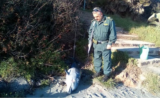 Alghero, giovane esemplare di delfino trovato morto nella spiaggia de Le Bombarde