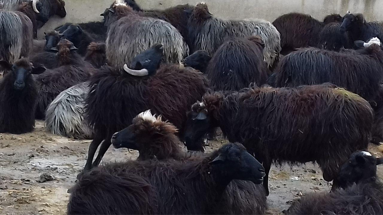 risalente alla pecora nera della famiglia