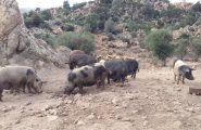 Torna l'incubo della peste suina: nuovo focolaio scoperto a Villagrande Strisaili