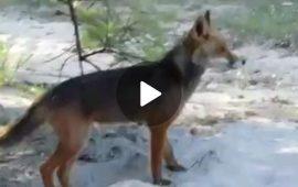 Il VIDEO del giorno: una splendida volpe nella spiaggia di Geremeas