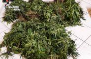 Desulo, i carabinieri scoprono una piantagione di marijuana tra la vegetazione