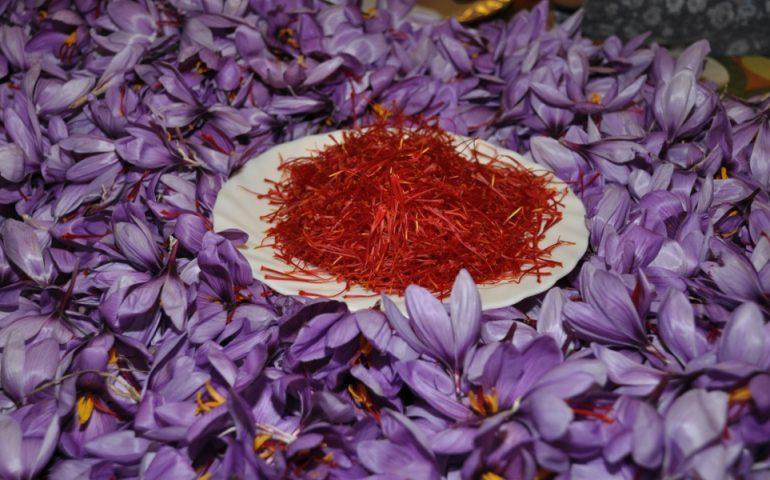 La tradizione e la bellezza della coltura dello zafferano in mostra a San Gavino Monreale