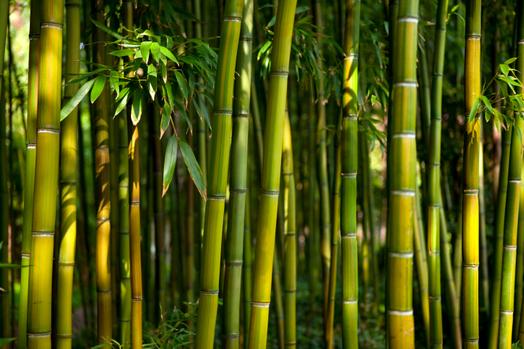 """Sardegna terra promessa del bambù? """"Sembrerebbe quasioro verde, ma è una pianta infestante"""", GrlG"""