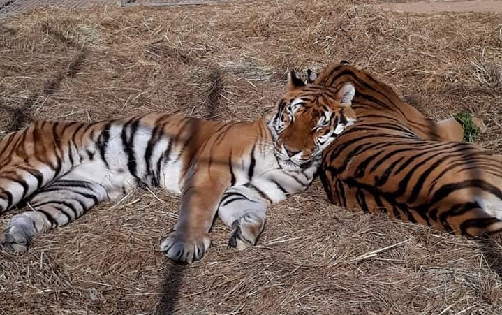 Il Circo Bellucci risponde al Sindaco di Sanluri: Â&laquoI nostri animali stanno bene, ricevono le migliori cure»