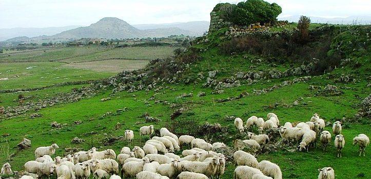 Lo sapevate? In Sardegna ci sono più pecore che persone. Quanti ovini vivono nell'Isola?
