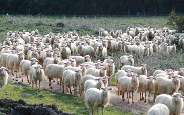 """""""Battaglia bianca"""": stasera a Siliqua i pastori regaleranno latte, formaggio e ricotta"""