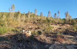"""Quartu, disboscamento di pini ed eucalyptus a Bacca Madra, Grig: """"È autorizzato?"""""""