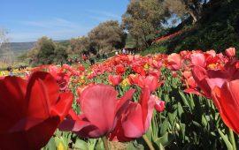 Tulipani in Sardegna riapre le sue porte: Turri come l'Olanda con il più grande vivaio a cielo aperto dell'Isola