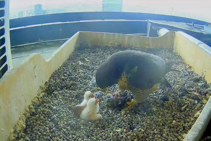 Coppia di falchetti nidifica sul Pirellone e nascono due piccoli: la diretta in streaming