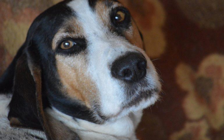 Flash, un cane perfetto: anni al rifugio senza mai una richiesta di adozione