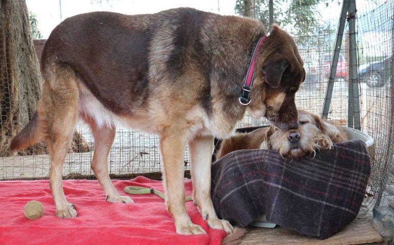Zeus e Ambra, l'amore oltre ogni cosa. Lei cieca e diabetica, lui un gigante buono